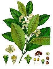 Piment (Pimenta dioica), Illustration