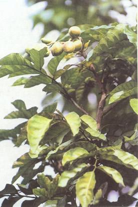 黄淡树根 黄皮果、黄淡、黄皮枣、黄懒、黄弹。外地别名称为黄皮果树、黄皮、黄皮果核、黄皮核