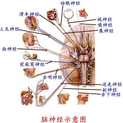 脑神经,脑血管解剖图片