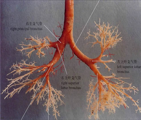 支气管解剖图