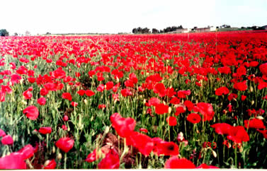 这是一片人工种植的虞美人(又称田野罂粟/field poppy或法兰德斯罂粟/Flanders poppy).这种花原产地就是欧洲,比利时把它作为国花.在国内也常见,但这样大面积的种植还是第一次看到